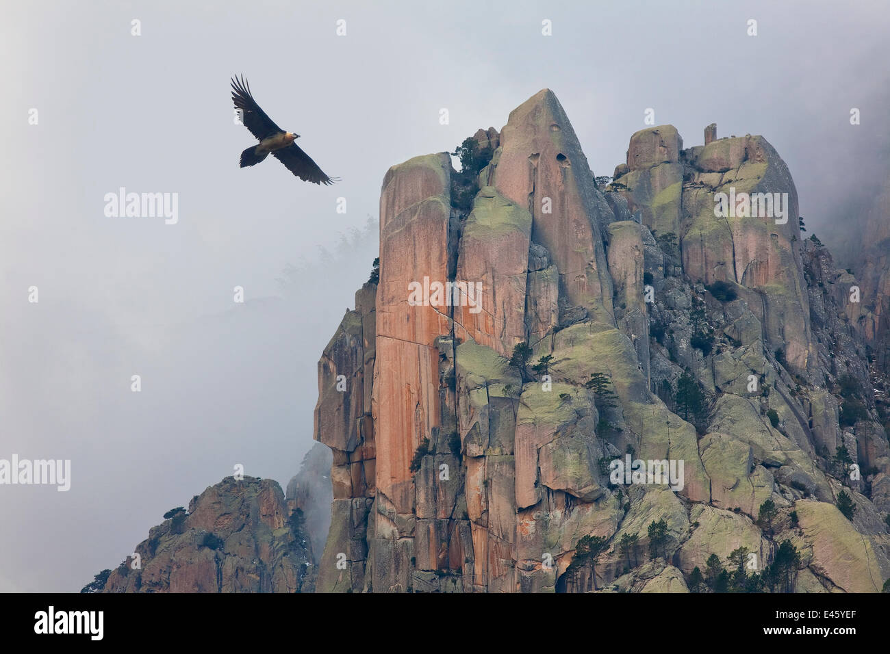 Lammergeier (Gypaetus barbatus) in flight over  rocky outcrops, Monte Incudine,  Parc Naturel Regional de Corse, Stock Photo