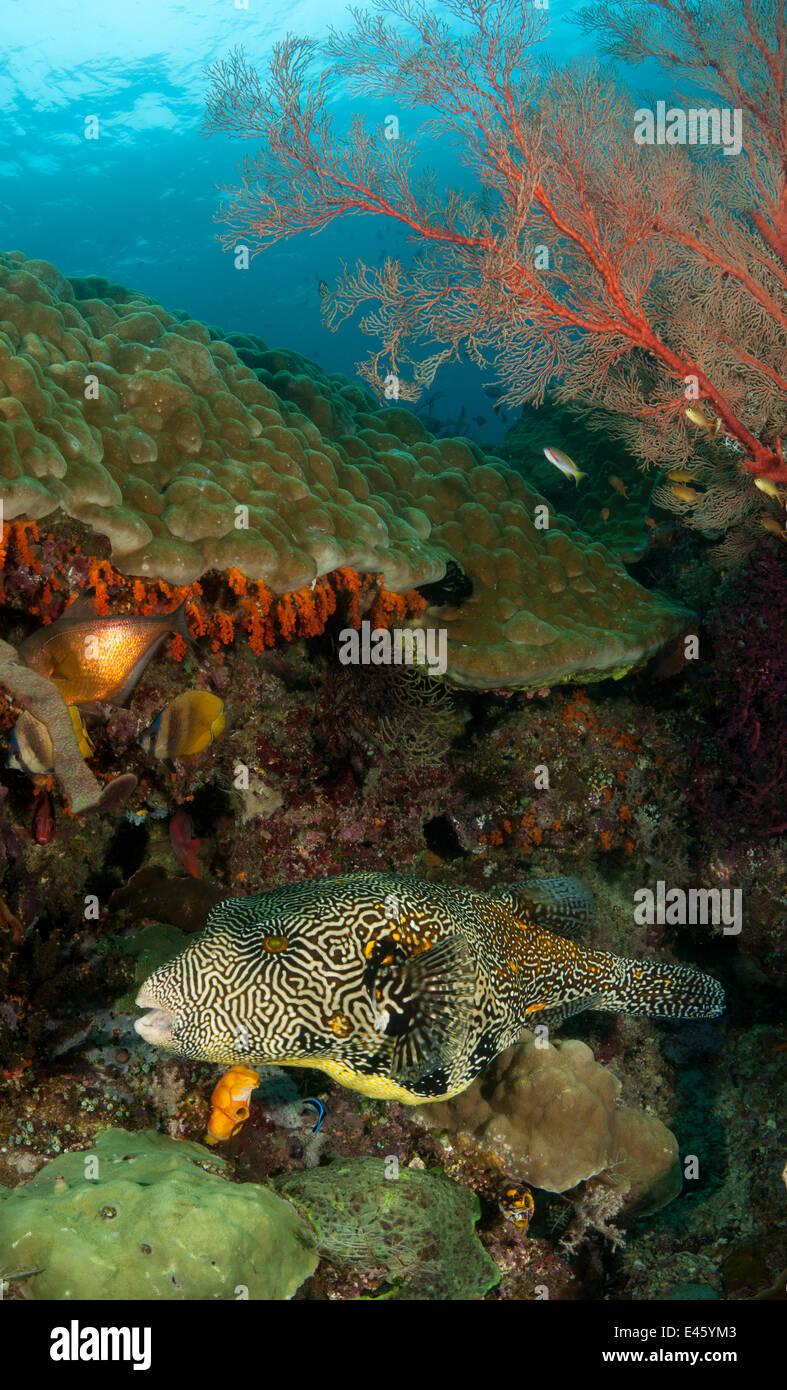 Giant / Map pufferfish (Arothron mappa) swimming in the reef. Misool, Raja Ampat, West Papua, Indonesia, January - Stock Image