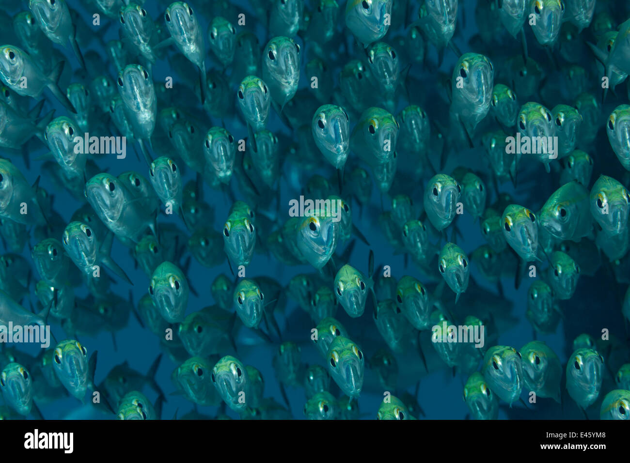 School of Yellow line scads (Selaroides leptolepis). Misool, Raja Ampat, West Papua, Indonesia - Stock Image
