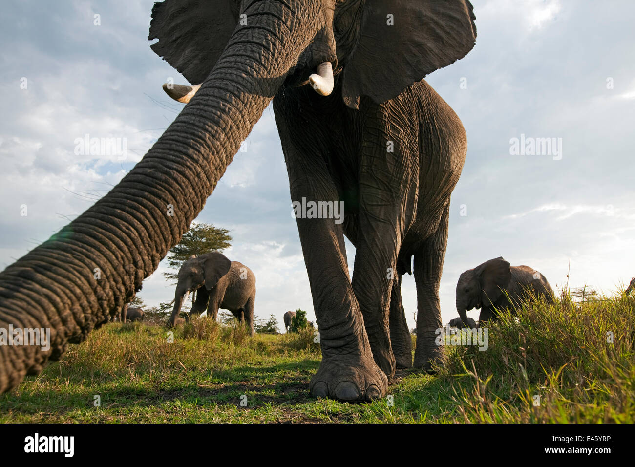 African elephant (Loxodonta africana) investigating with its trunk, Masai Mara National Reserve, Kenya. March - Stock Image