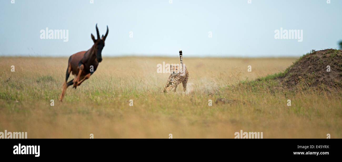 Cheetah (Acinonyx jubatus) male chasing down a Topi (Damaliscus lunatus) Masai Mara National Reserve, Kenya. February - Stock Image