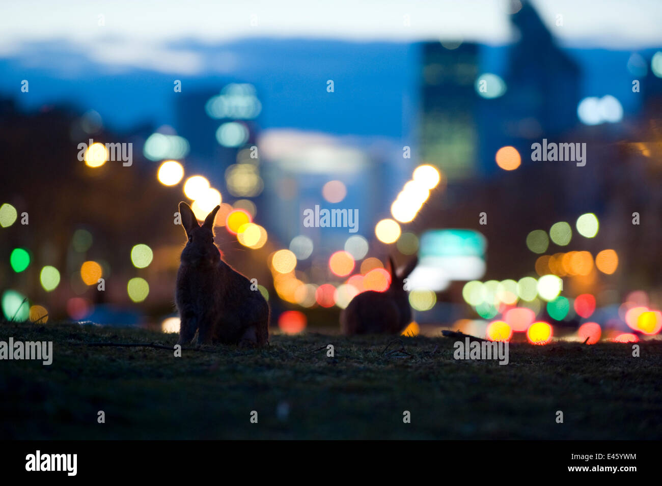 Rabbits (Oryctolagus cuniculus) in a Paris park at dusk. France. - Stock Image