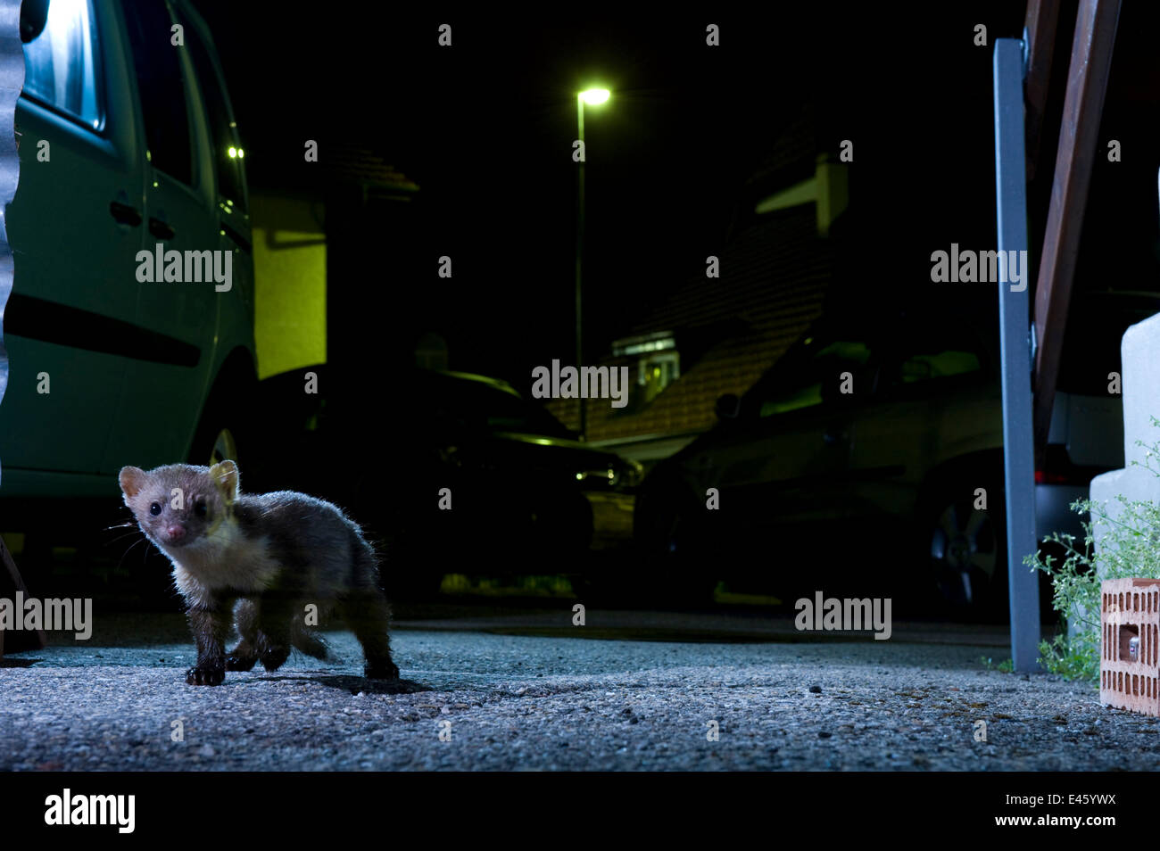 Beech marten (Martes foina) at night in city, Switzerland, taken using infra red beam - Stock Image