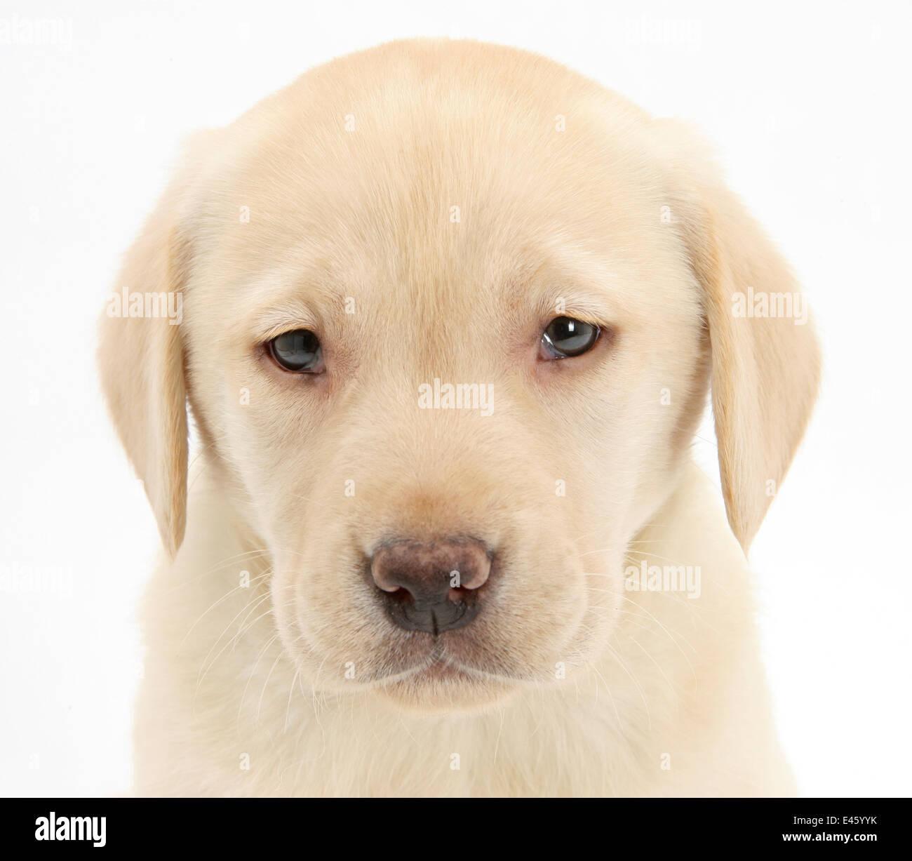 Yellow Labrador Retriever puppy, 7 weeks. - Stock Image