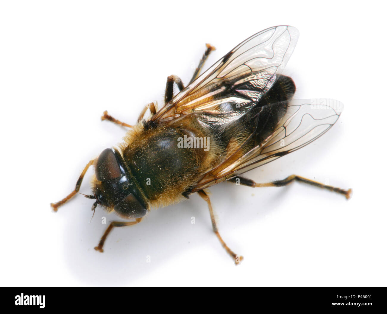 Drone / Hover Fly (Eristalis tenax) female against a white background. Surrey, UK, May. - Stock Image