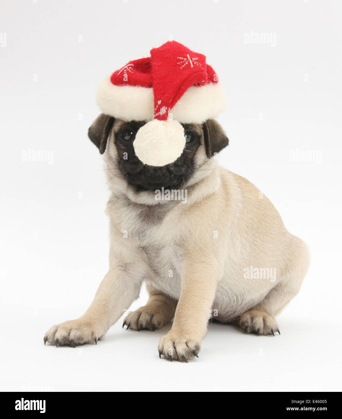 Fawn Pug puppy, 8 weeks, wearing a Father Christmas hat. Stock Photo