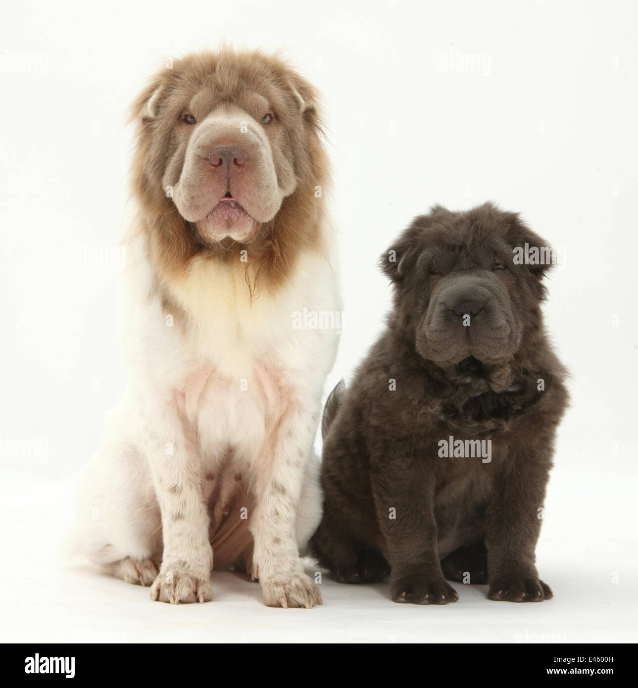 Bearcoat Shar Pei mother, with her Blue Bearcoat puppy, 13 weeks. - Stock Image
