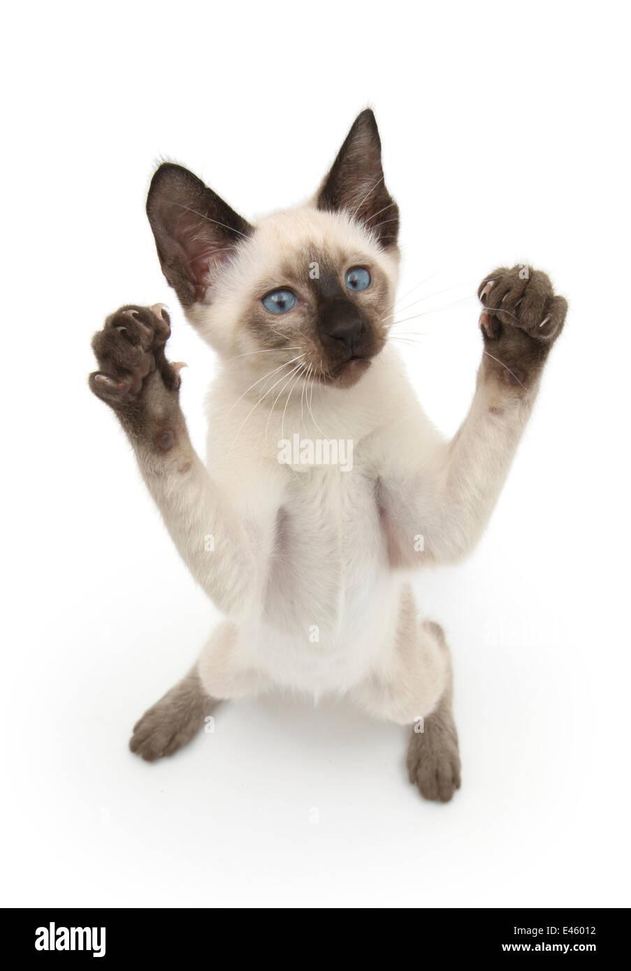 Siamese kitten, 10 weeks, reaching up. - Stock Image