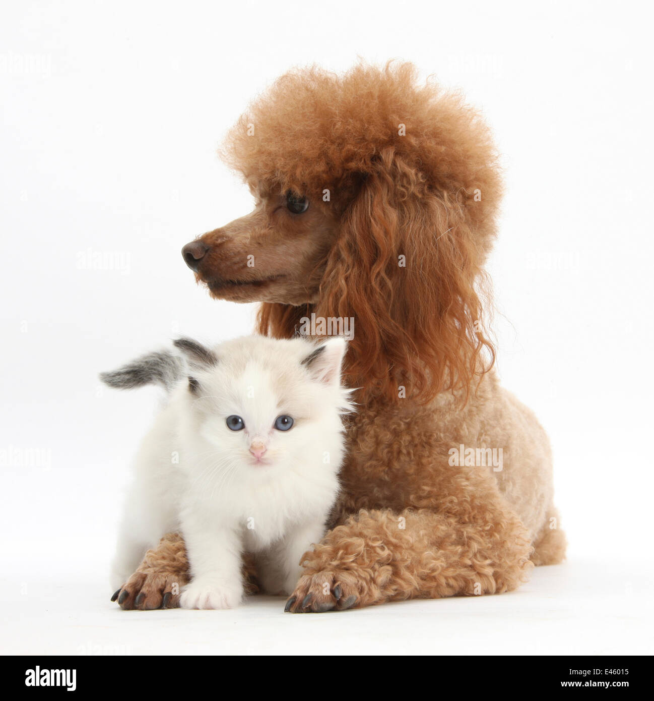 Red toy Poodle dog, and Ragdoll-cross kitten, 5 weeks. - Stock Image