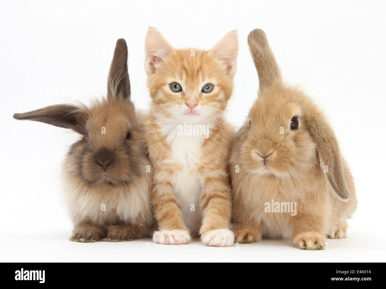 Ginger kitten, 7 weeks, sitting between two young Lionhead-Lop rabbits. - Stock Image