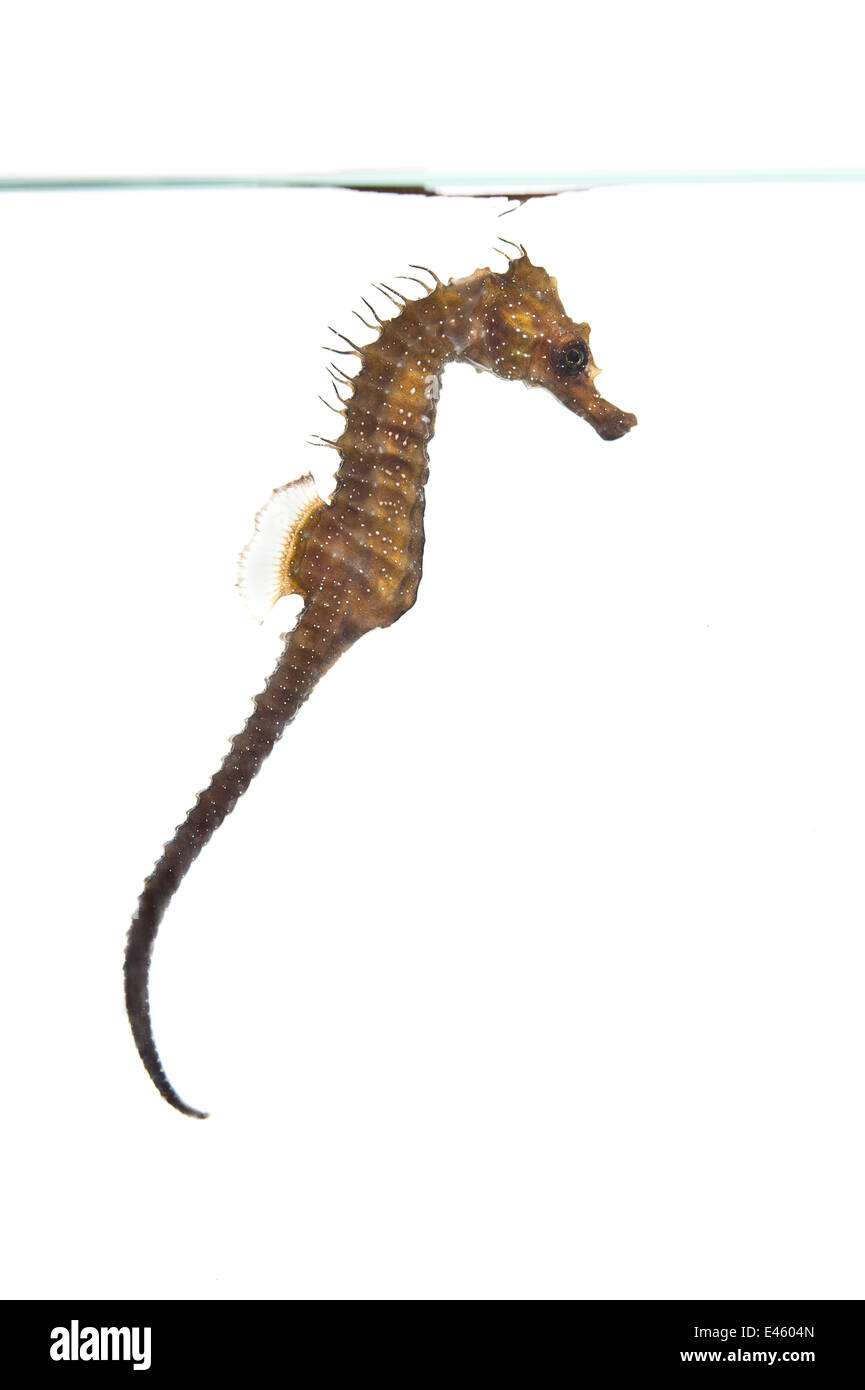 A young Spiny / Longsnouted / Yellow Seahorse (Hippocampus guttulatus), aquarium image. This seahorse is part of - Stock Image