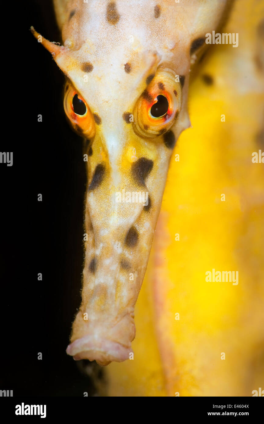 Large / Pot Bellied Seahorse (Hippocampus abdominalis) face portrait. Blairgowrie Marina, Mornington Peninsular, - Stock Image
