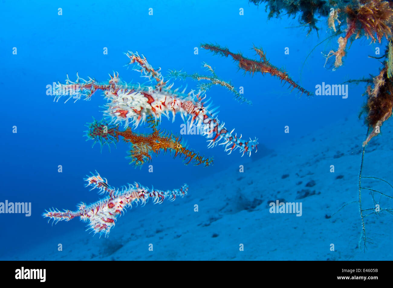 A shoal of Ornate Ghost Pipefish (Solenostomus paradoxus) below a black coral bush (Antipathes sp.). Misool, Raja - Stock Image