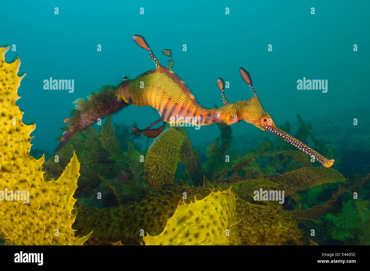 A male Weedy Seadragon (Phyllopteryx taeniolatus) swimming over seaweeds, carrying eggs under his tail. Sydney, - Stock Image