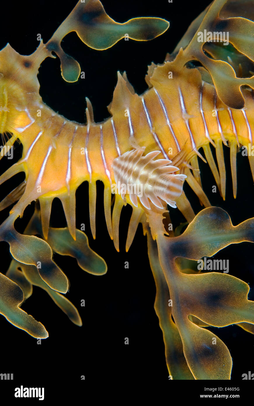 A parasitic isopod attached to a Leafy Seadragon (Phycodurus eques). This species of isopod has an ornately shaped - Stock Image