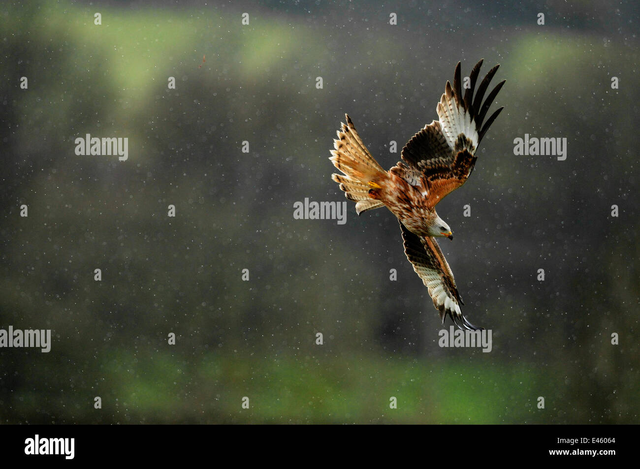 Red kite (Milvus milvus) flying in a rain shower. Dumfries and Galloway, Scotland, June Stock Photo