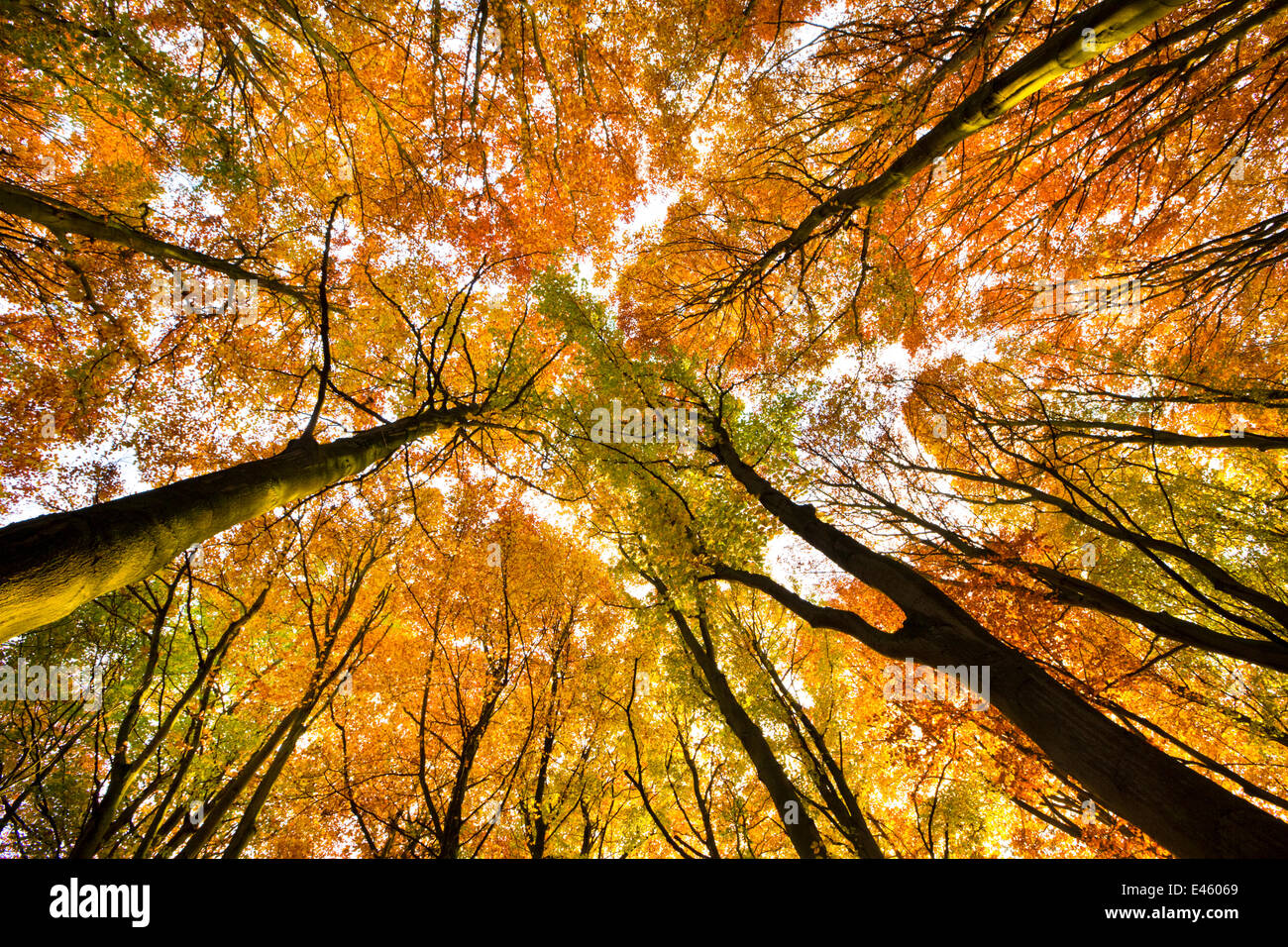 Looking up at Beech wood canopy (Fagus sylvatica) in autumn, Peak District National Park, Derbyshire, UK, November - Stock Image