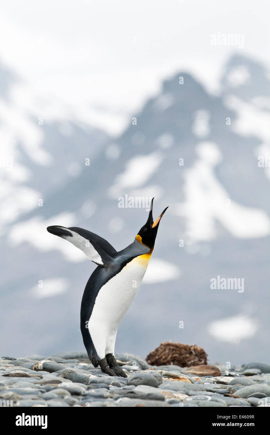King Penguin (Aptenodytes patagonicus) displaying on the beach front. Salisbury Plain, South Georgia, Antarctica. - Stock Image