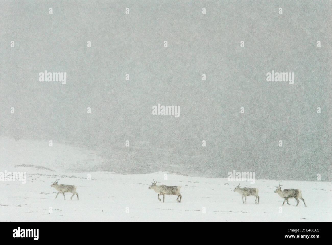 Reindeer (Rangifer tarandus) walking through snowstorm, Vadso, Varanger, Finnmark, Norway, February 2006 Stock Photo