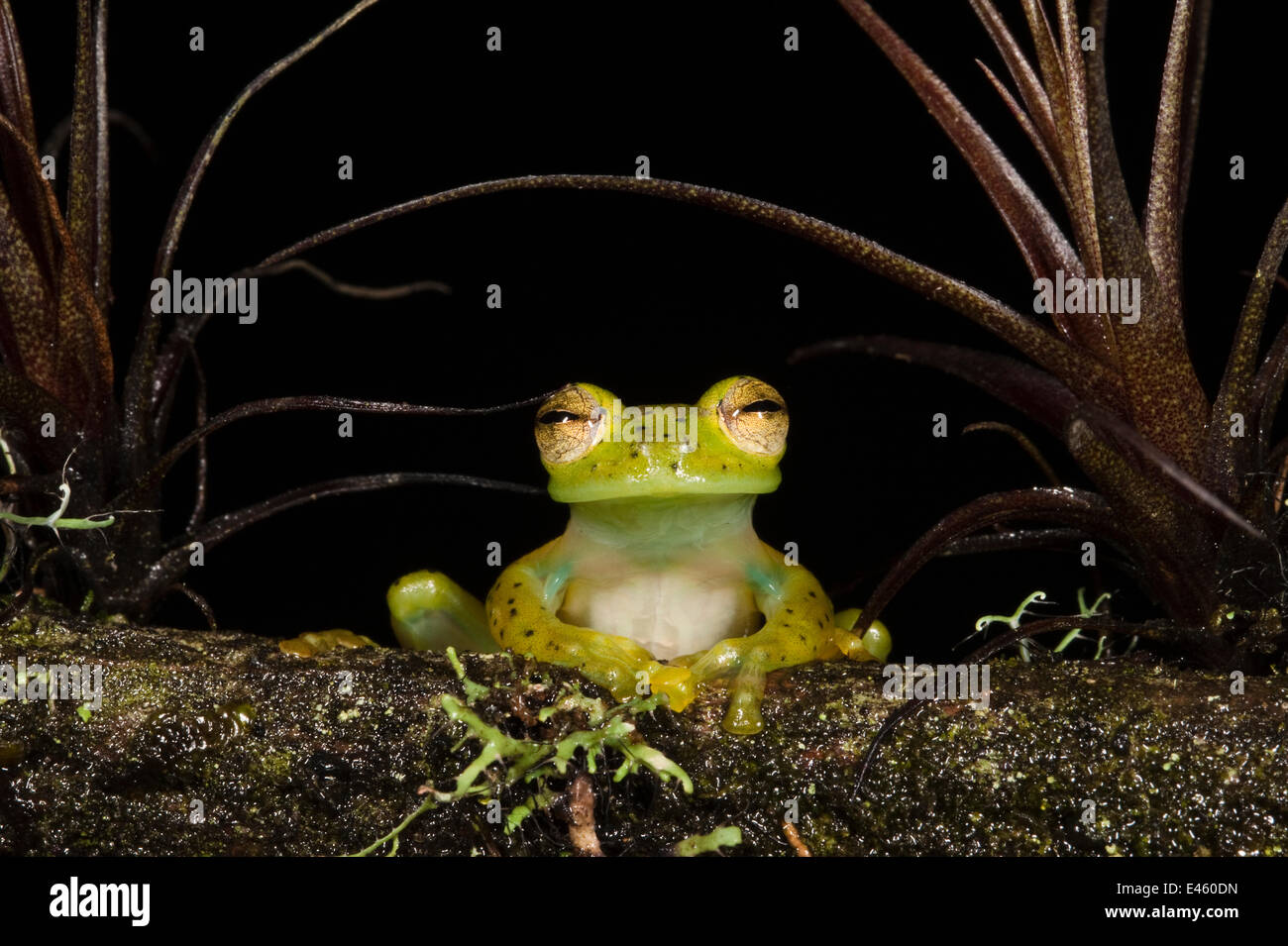 Portrait of an Emerald Glass Frog (Espadarana / Centrolenella prosoblepon). Captive. Chocó Region of northwest - Stock Image