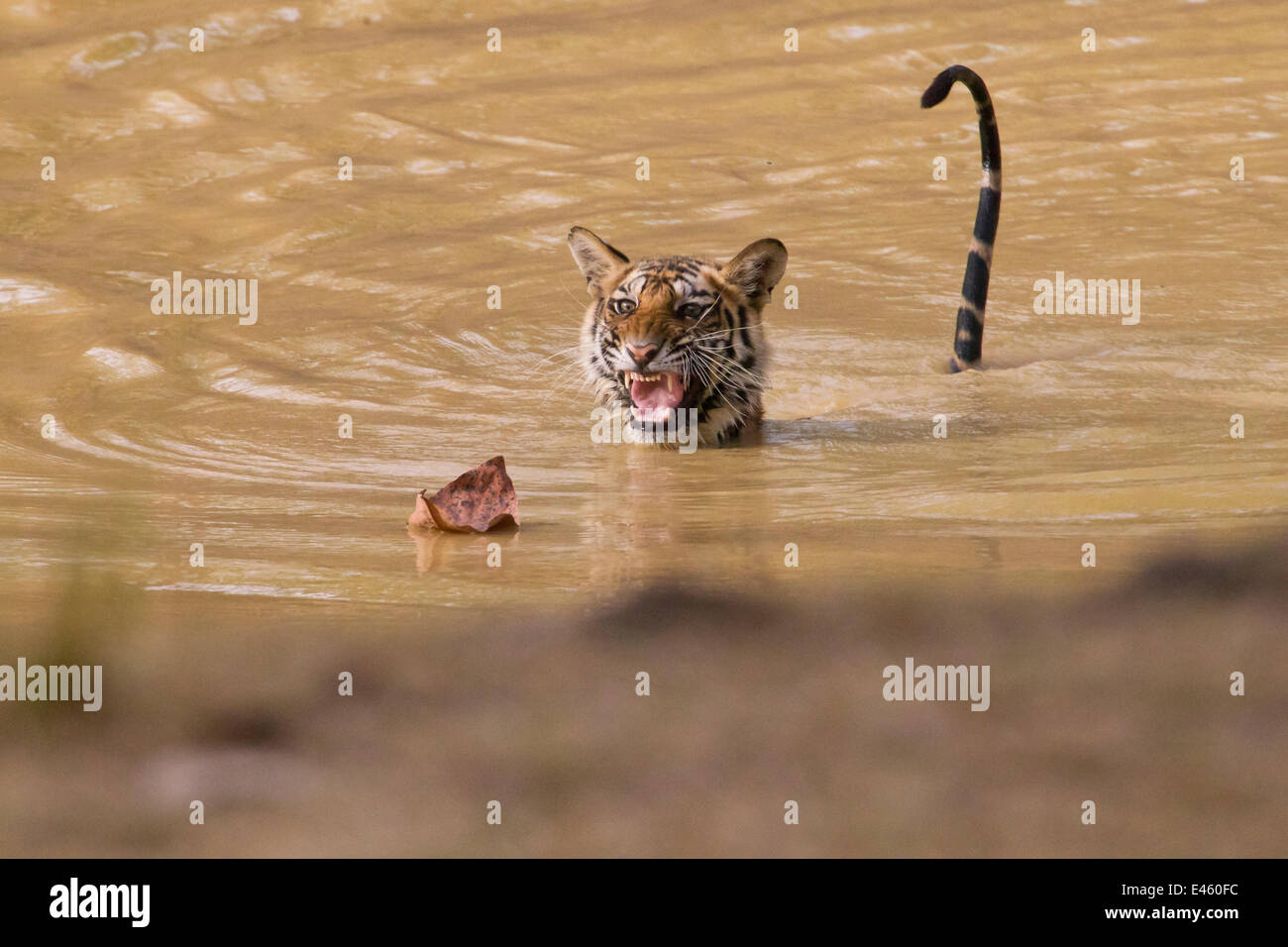 Young Tigress (Panthera tigris), 22 month, being frightened by a dead leaf. Banghavgarh National Park, India, April. - Stock Image