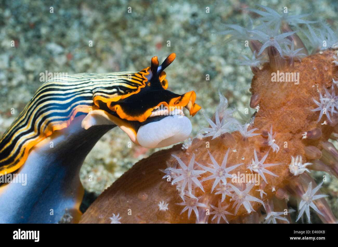 Nudibranch (Armina sp.) with its buccal bulb everted to feed on Sea Pen (Veretillum sp.). Rinca, Komodo National - Stock Image