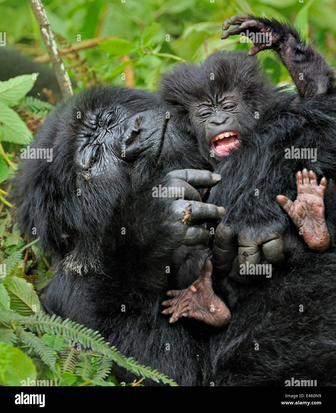 Mountain Gorilla (Gorilla beringei) adult playing with an infant. Rwanda, Africa - Stock Image