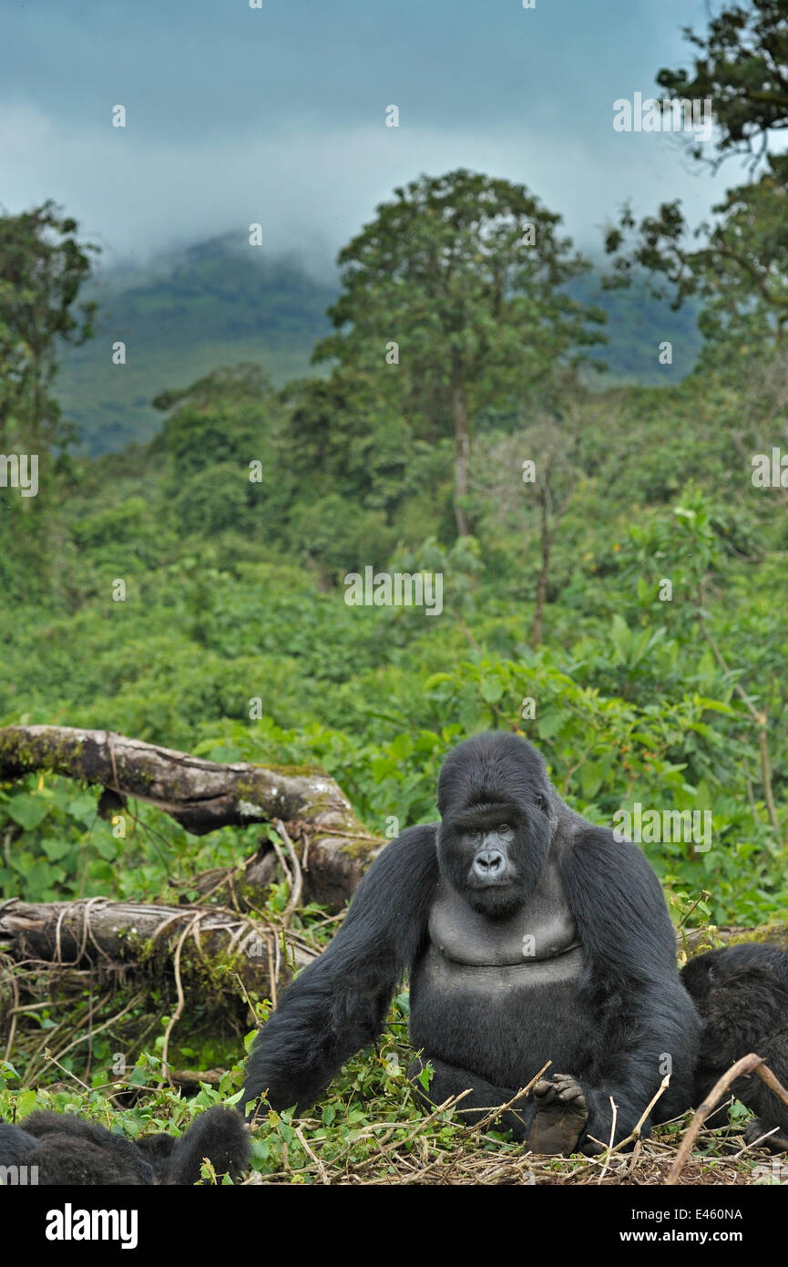 Portrait of a Mountain Gorilla (Gorilla beringei) with a view over forest canopy. Rwanda, Africa, March. - Stock Image