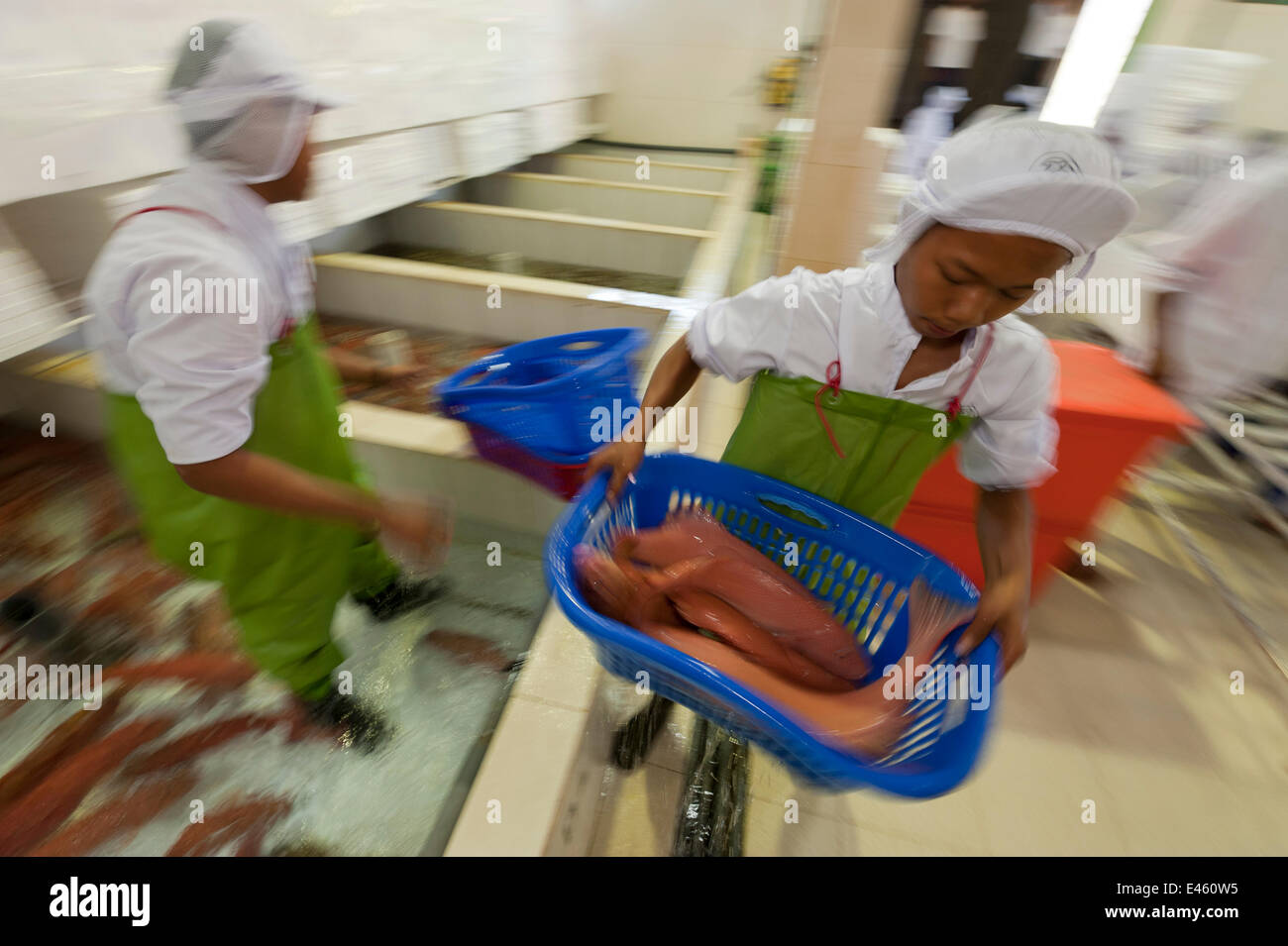 Live reef fish (Groupers) in aquarium ready to be  boxed, aerated and exported to China, Pulau Mas assembly line, - Stock Image