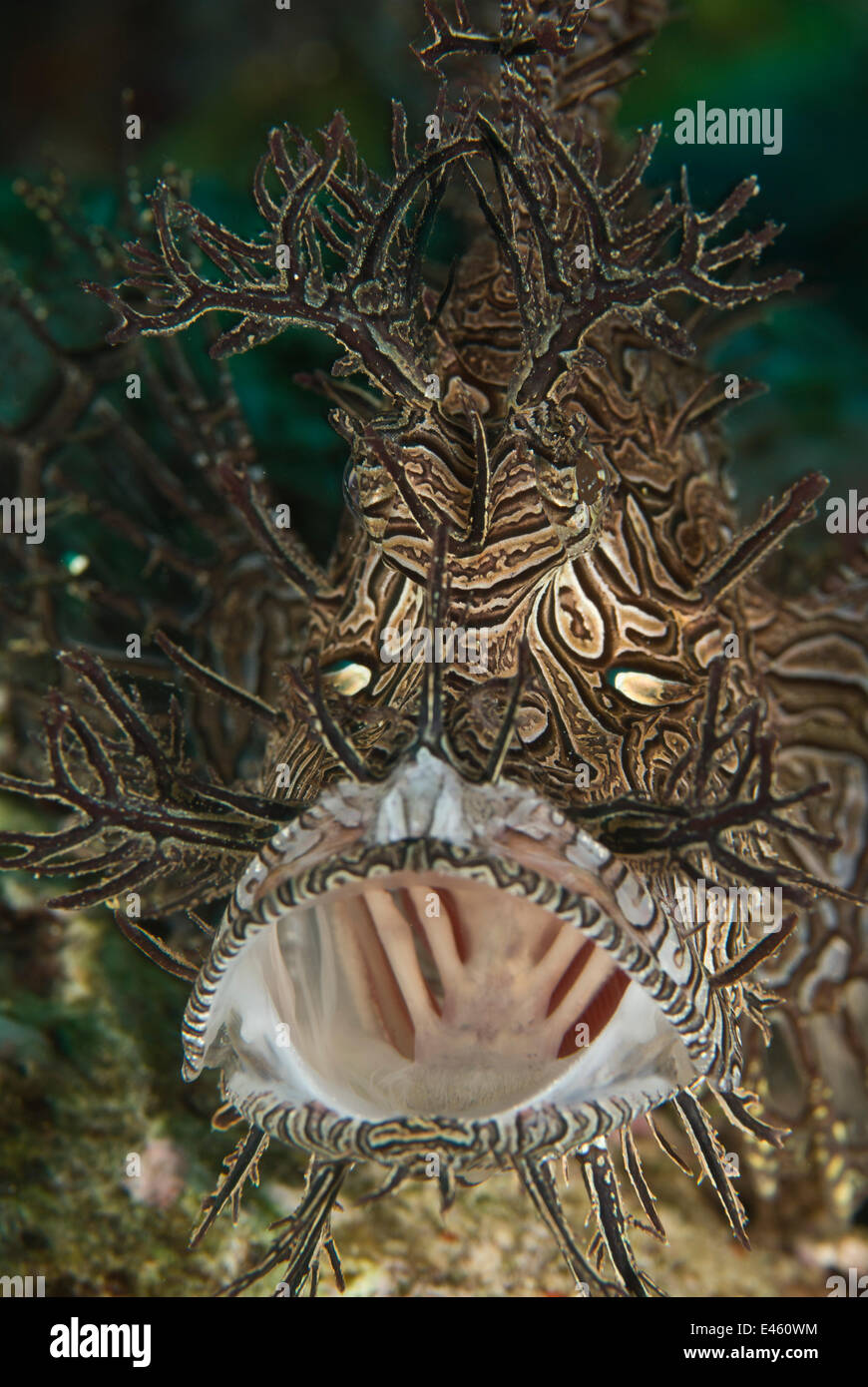 Lacey scorpionfish (Rhinopias aphanes) with mouth wide open, Indo-pacific - Stock Image