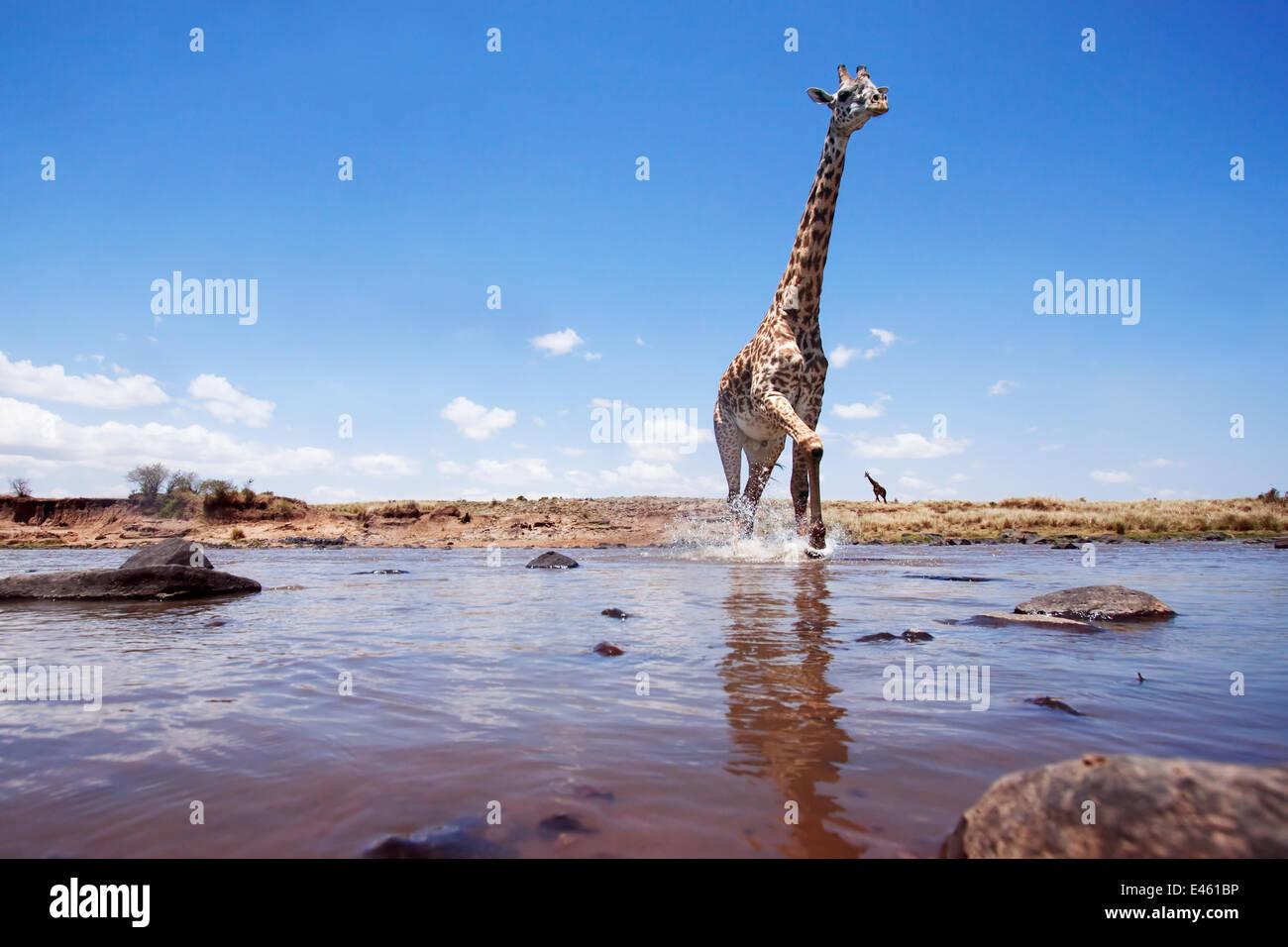 Masai giraffe (Giraffa camelopardalis tippelskirchi) crossing the Mara River - wide angle perspective, Masai Mara - Stock Image