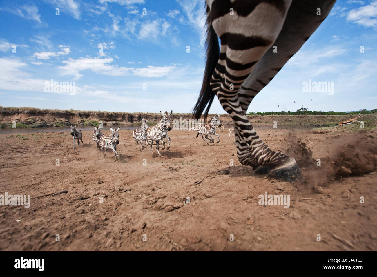 Common / Plains Zebra (Equus quagga burchellii) herd running away from the Mara River - wide angle perspective, - Stock Image