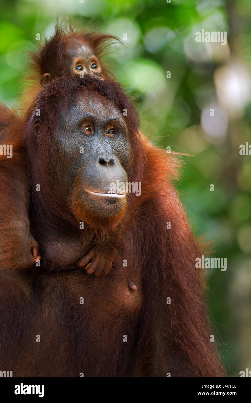 Bornean Orangutan (Pongo pygmaeus wurmbii) female 'Peta' carrying her baby daughter 'Petra' aged - Stock Image