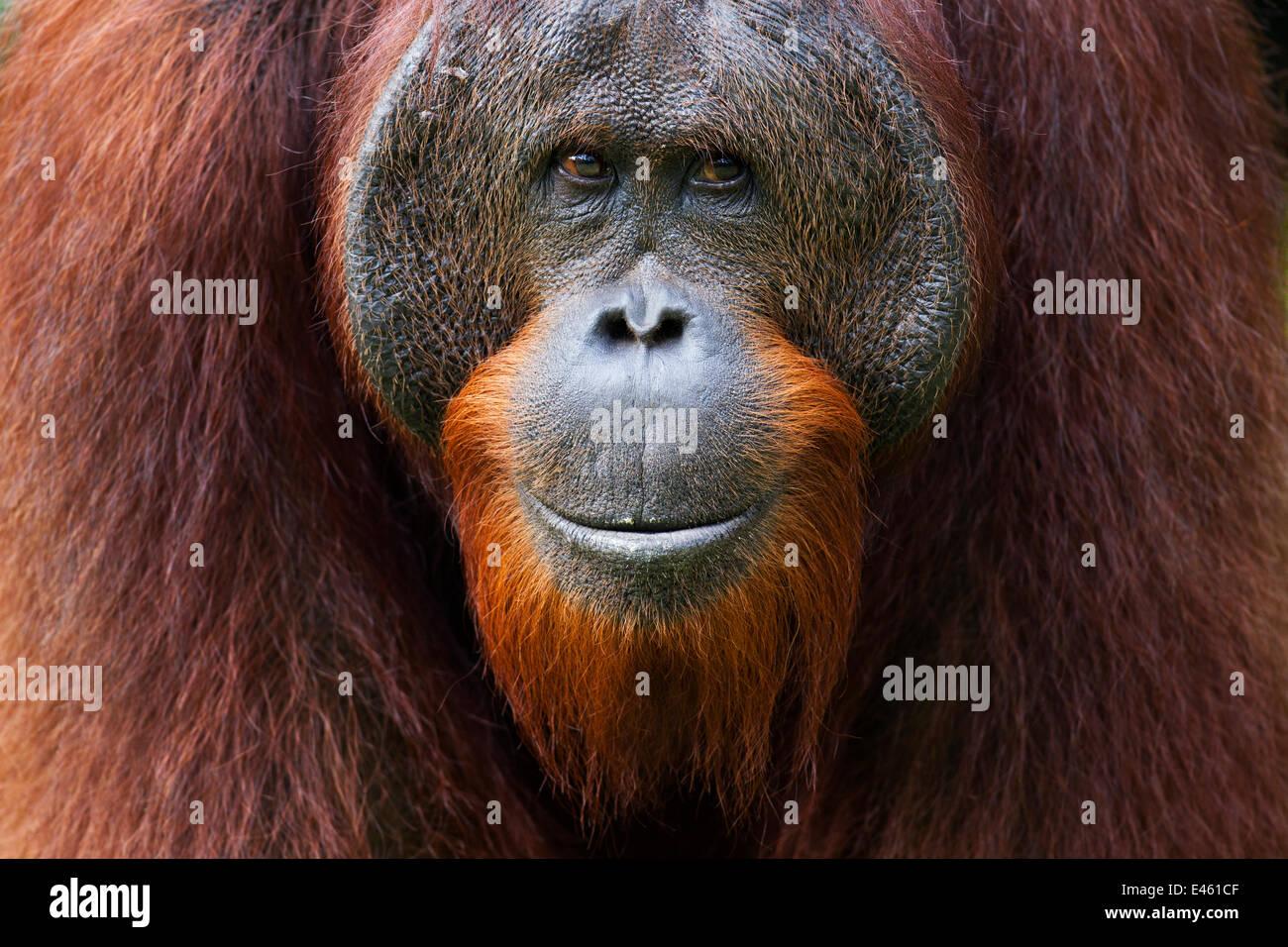 Bornean Orangutan (Pongo pygmaeus wurmbii) young mature male 'Gary' aged 16 years portrait. Camp Leakey, - Stock Image