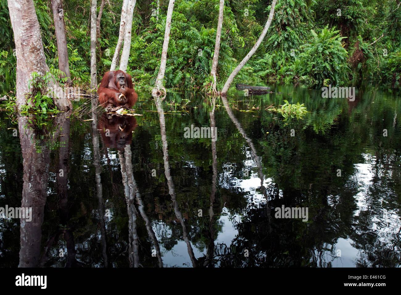 Bornean Orangutan (Pongo pygmaeus wurmbii) sub-adult male 'Oman' sitting on a clump of vegetation in the - Stock Image