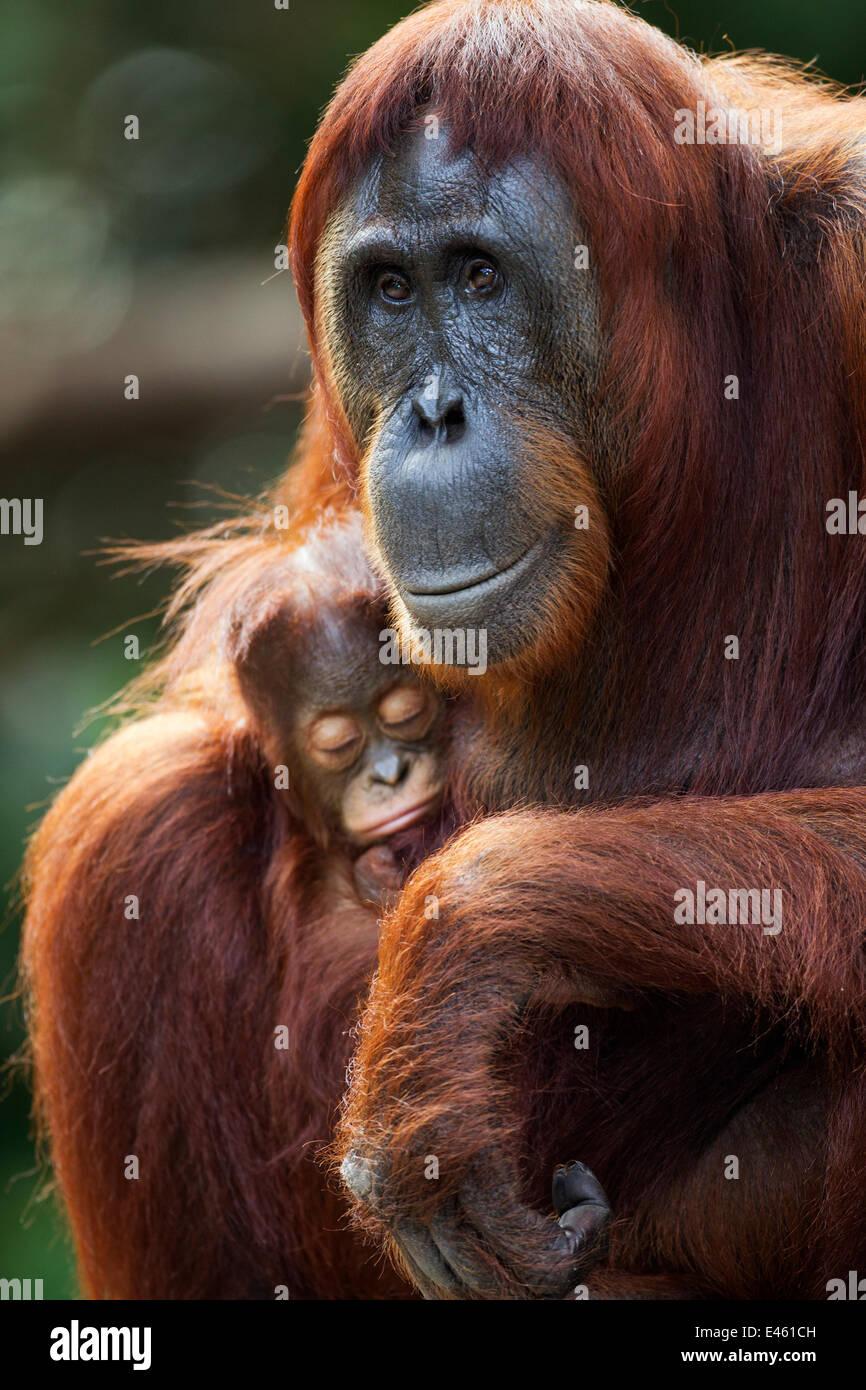 Bornean Orangutan (Pongo pygmaeus wurmbii) female 'Tutut' sitting with her sleeping baby 'Thor' - Stock Image