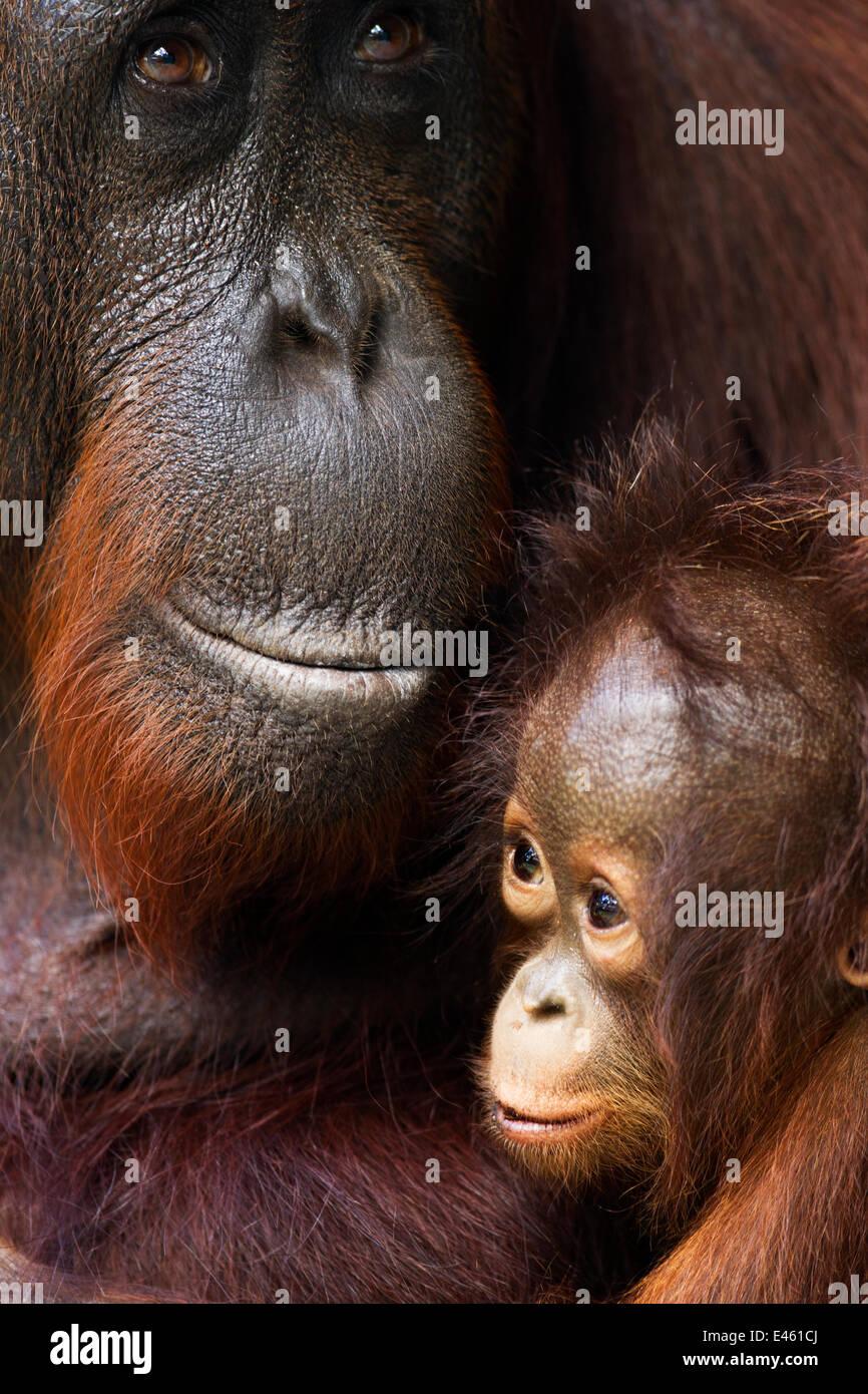 Bornean Orangutan (Pongo pygmaeus wurmbii) female 'Yuni' and her baby aged 3-6 months - portrait. Camp Leakey, - Stock Image