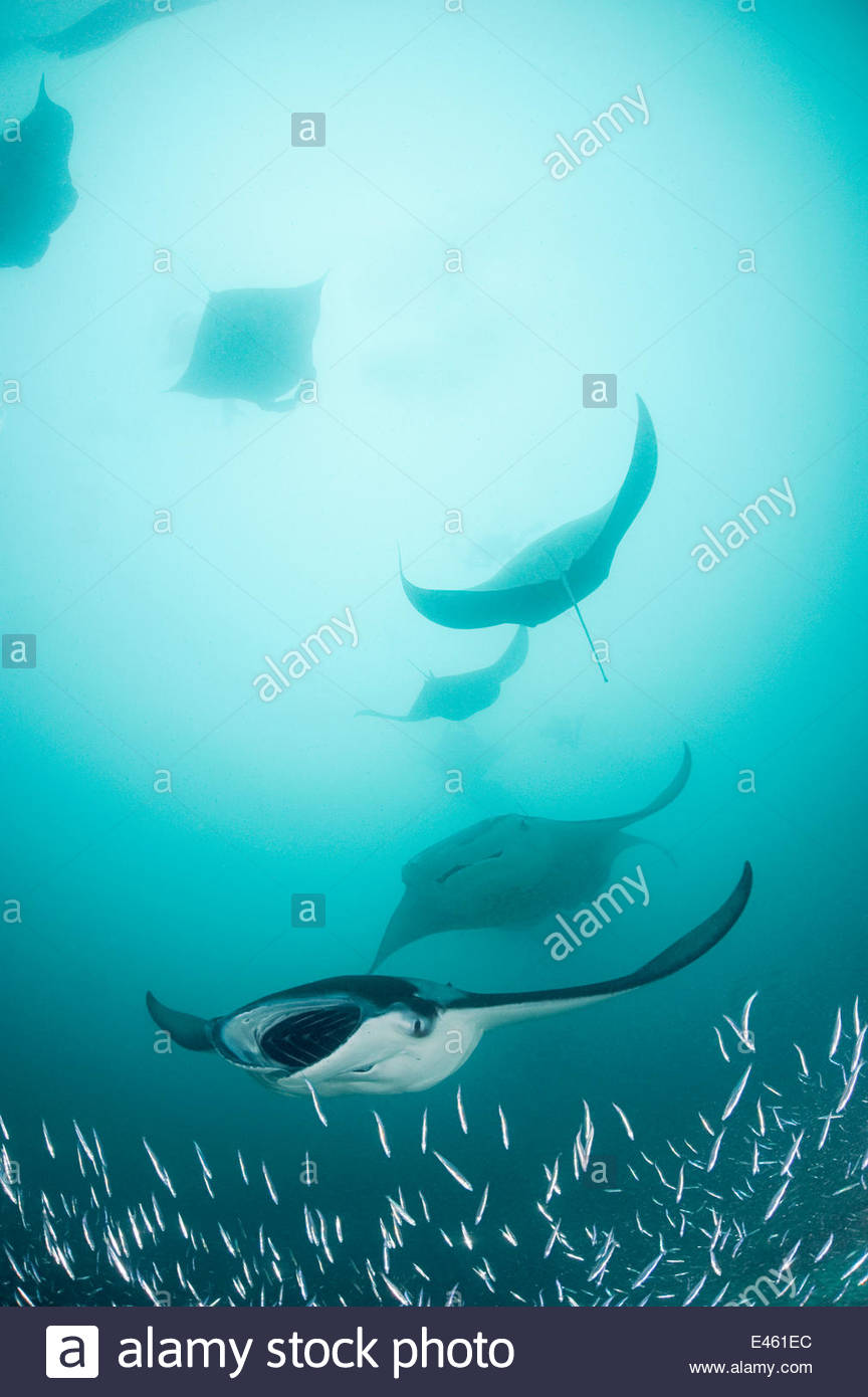 Reef manta rays (Manta birostris / alfredi) filter feeding on plankton among Silverside fish that are also feeding - Stock Image