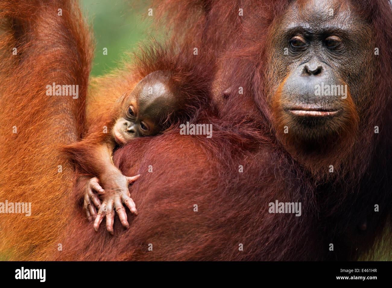 Bornean Orangutan (Pongo pygmaeus wurmbii) female 'Tata' and her unnamed baby aged 2-3 months portrait. - Stock Image