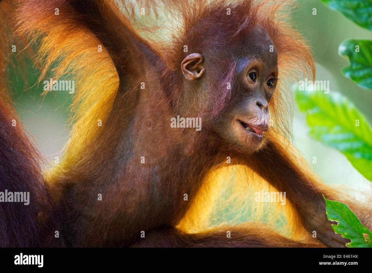 Bornean Orang-utan (Pongo pygmaeus wurmbii) female baby 'Petra' aged 12 months portrait. Camp Leakey, Tanjung - Stock Image