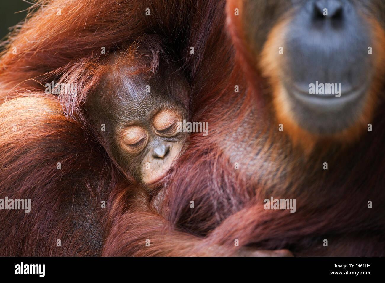Bornean Orang-utan (Pongo pygmaeus wurmbii) female 'Tutut' cradling her sleeping baby 'Thor' aged - Stock Image