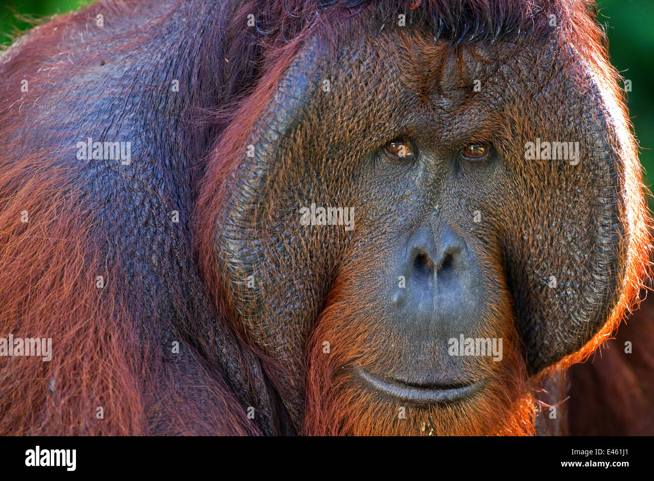 Bornean Orang-utan (Pongo pygmaeus wurmbii) mature male 'Tom' head and shoulders portrait. Camp Leakey, - Stock Image