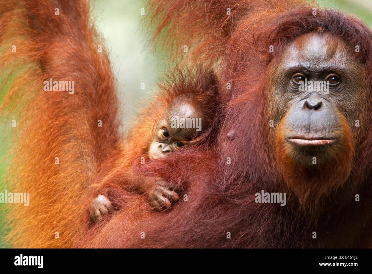 Bornean Orang-utan (Pongo pygmaeus wurmbii) female 'Tata' and her unnamed baby aged 2-3 months portrait. - Stock Image