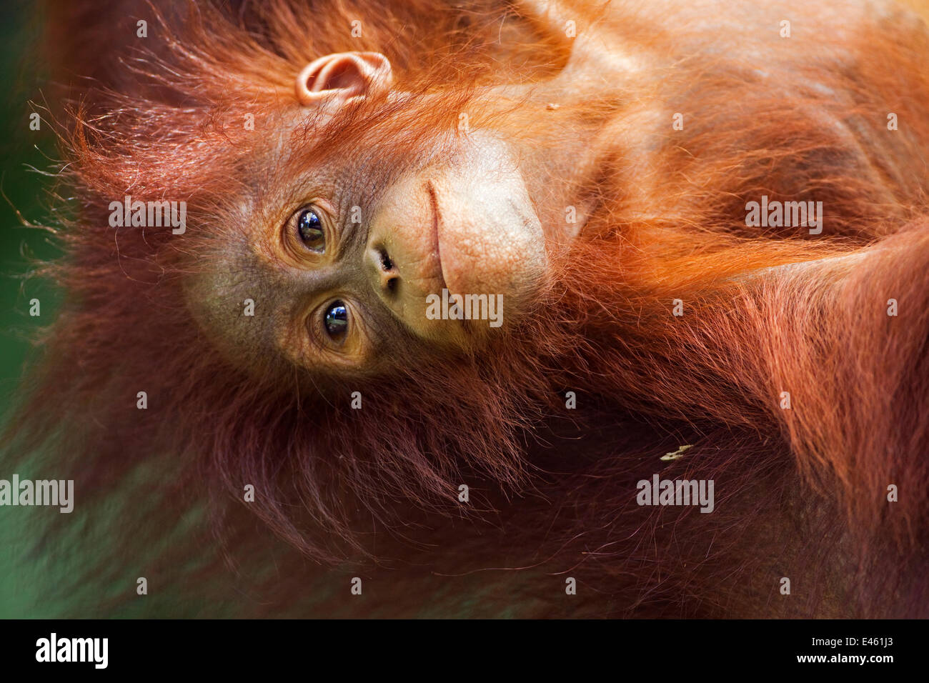 Bornean Orang-utan (Pongo pygmaeus wurmbii) female baby 'Petra' aged 12 months hanging upside down from - Stock Image