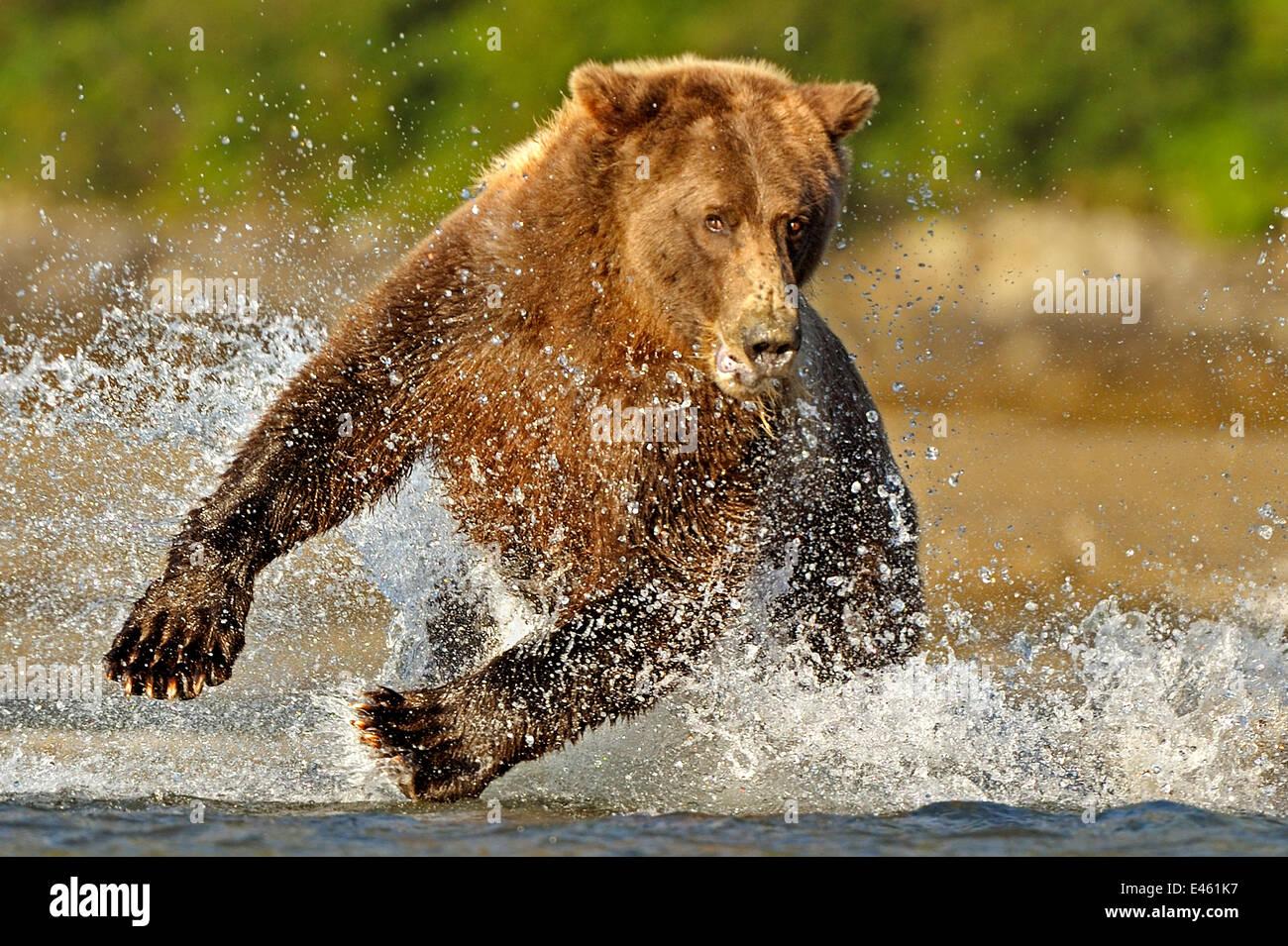 Grizzly Bear (Ursus arctos horribilis) chasing through water after salmon. Katmai, Alaska, USA, August. - Stock Image
