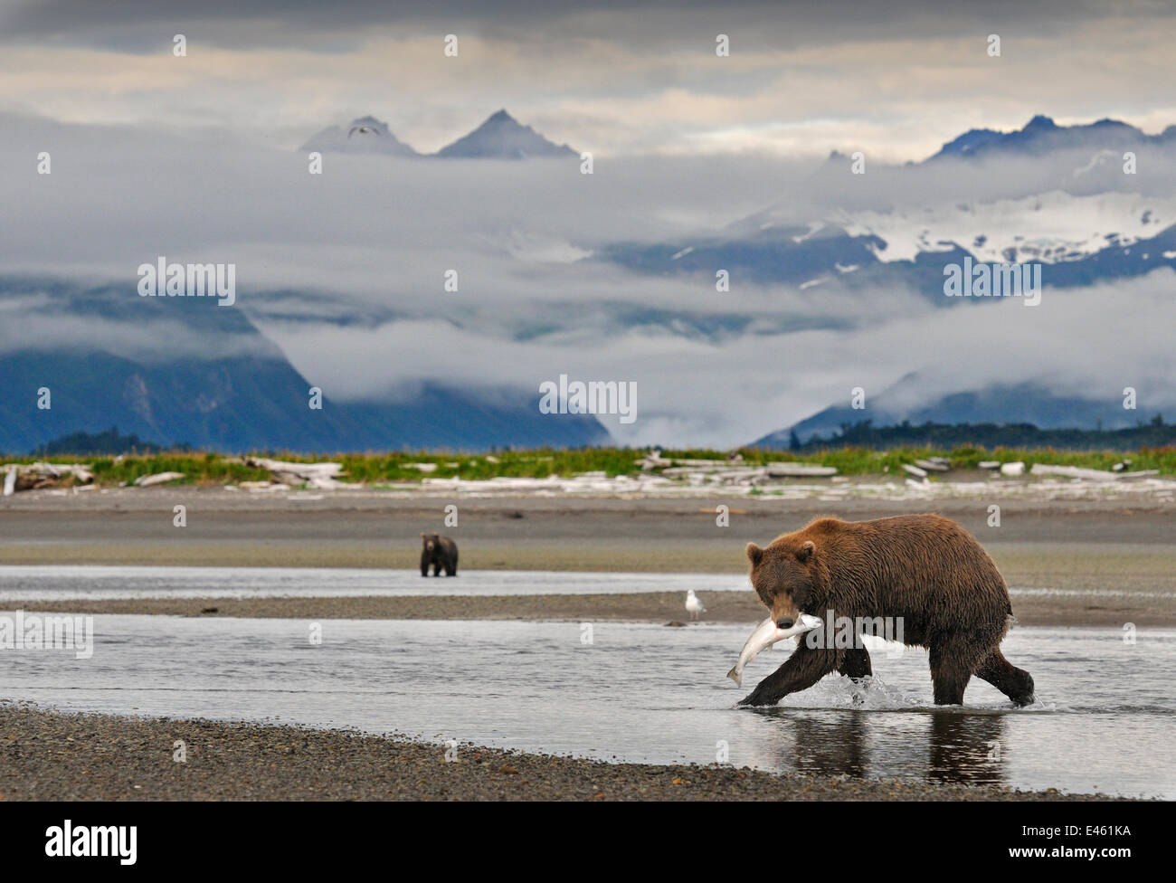 Grizzly Bear (Ursus arctos horribilis) with caught salmon, another bear more distant, with mountains backing the - Stock Image