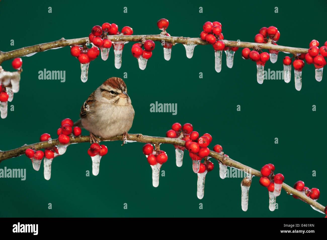 Chipping Sparrow (Spizella passerina) adult on ice covered Possum Haw Holly (Ilex decidua) berries. New Braunfels, - Stock Image