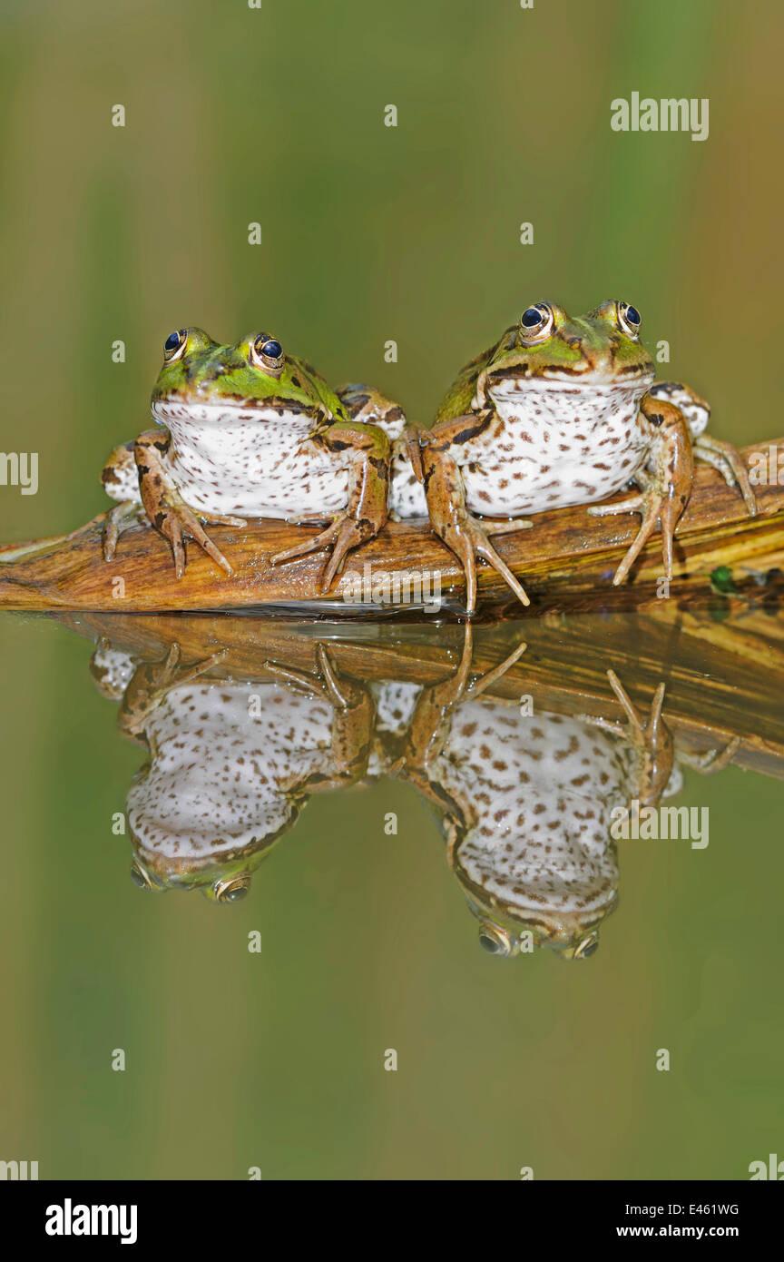 Edible Frogs (Rana esculenta) on log in water. Switzerland, Europe, July. - Stock Image