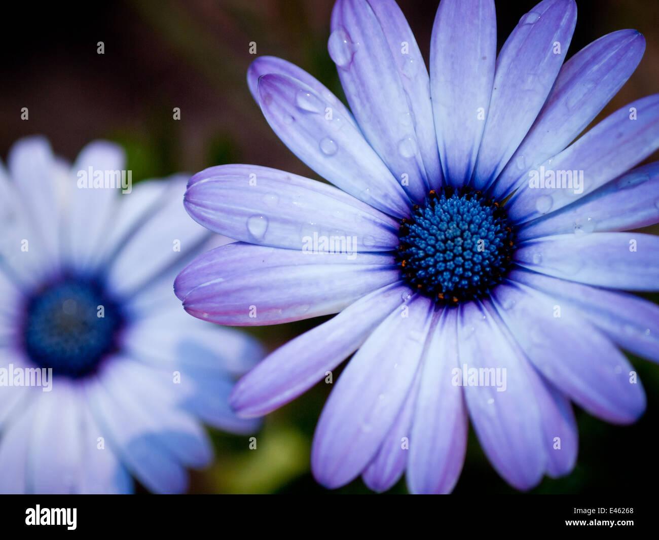 A blue-eyed daisy (Osteospermum flower), also known as an African daisy, South African daisy and Cape daisy.  Edmonton, - Stock Image