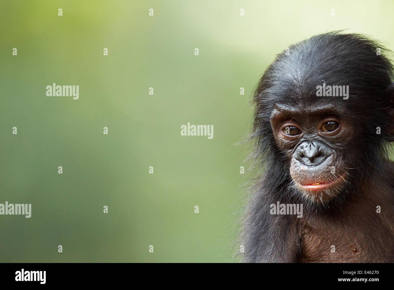 Bonobo (Pan paniscus) male baby 'Ombwe' aged 1 year, portrait, Lola Ya Bonobo Sanctuary, Democratic Republic - Stock Image